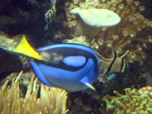 faqs on marine velvet amyloodiniumiasis diagnosis symptomology