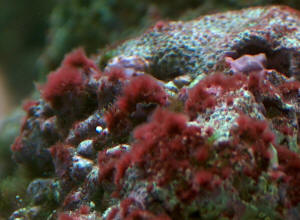 saltwater fish tank red algae cyanobacteria cyano red