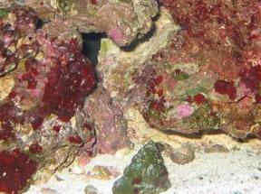 Bgacontfaq10 for Red algae in fish tank