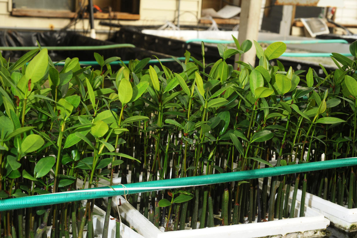 Mangroves as a natural method of filtration and means of NNR (Natural ...
