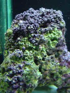 100% True Coralline Powder 100g Crazy Price Cleaning & Maintenance Pet Supplies