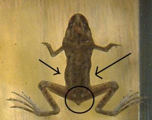 Faqs About African Dwarf Frogs Foodsfeedingnutrition