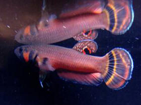 Faqs On Anabantoids Gouramis And Relatives 2