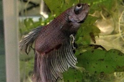 Faqs on anchorworms lernaeid parasites of freshwater fishes for Freshwater fish parasite identification