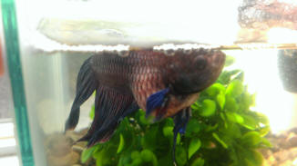 Betta hlth f 29 for Bloated betta fish