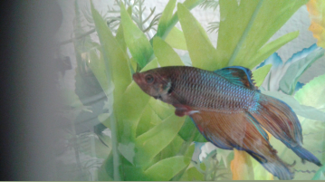 Betta hlth f 30 for Fish disease ick