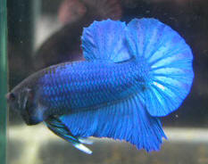 Faqs on betta splendens siamese fighting fish behavior 1 for Betta fish personality