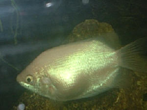 Faqs On Anabantoids Gouramis And Relatives Disease 3