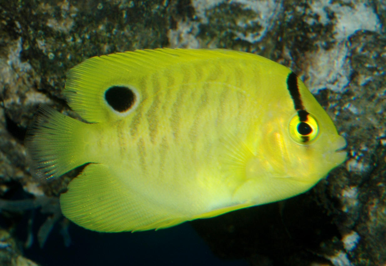 Burgess 1973, the Goldflake or Golden-Spotted Angelfish ...