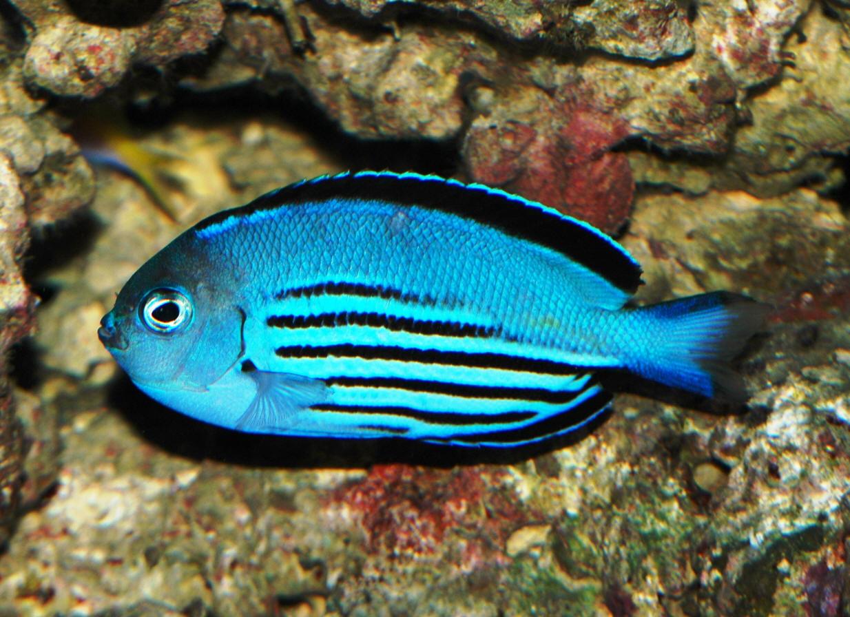 Rare Freshwater Tropical Fish Male in aquarium shown.