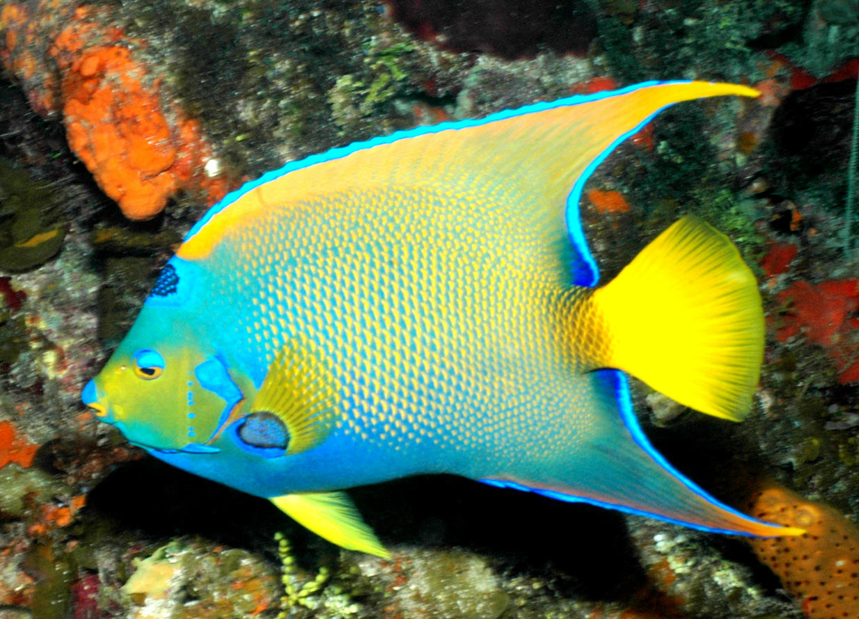 Swpotdarch162 for Queen angel fish