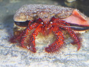 Red legged hairy hermit crab