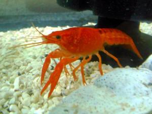 Crayfish, Crawdads, Ditch Bugs Behavior