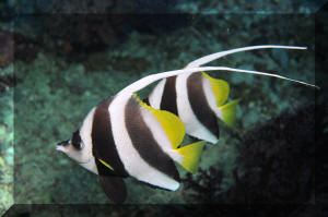 Pennant Butterflyfish  H Butterfly Fish