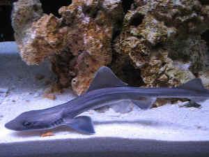 Sharkdiseasefaqs