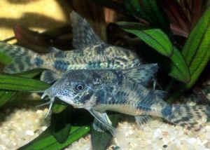 http://www.wetwebmedia.com/CatfishesPIX/Callichthyids/Corydoras_paleatusAQ.jpg