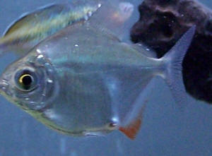 Tropical fish ailments related keywords tropical fish for Freshwater fish parasite identification