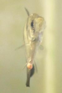 Faqs on freshwater fish internal parasite diseases for Freshwater fish parasite identification