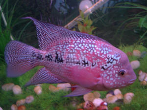 FAQs on the Flowerhorn Cichlid Behavior