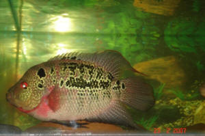 FAQs on the Flowerhorn Cichlid Reproduction