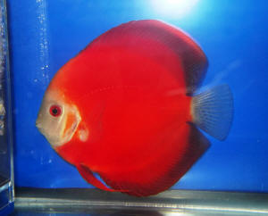 Image gallery discus varieties for Discus fish types