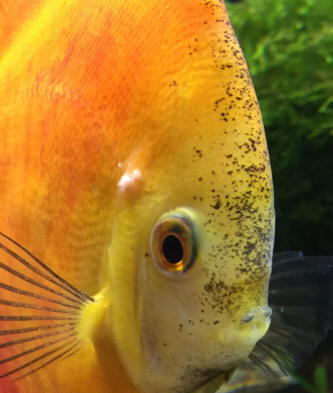 Faqs on discus disease pests 3 for White fungus on fish