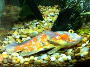 Oscar Fish Tank Setup Ideas