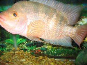 Faqs on red devil cichlids identification for Red devil fish for sale