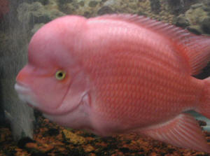 FAQs on Cichlid Disease 3