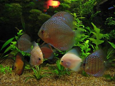 FAQs on Freshwater Ich, White Spot Disease 4