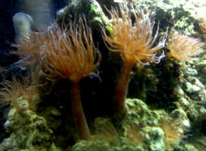 how to get rid of aiptasia anemone