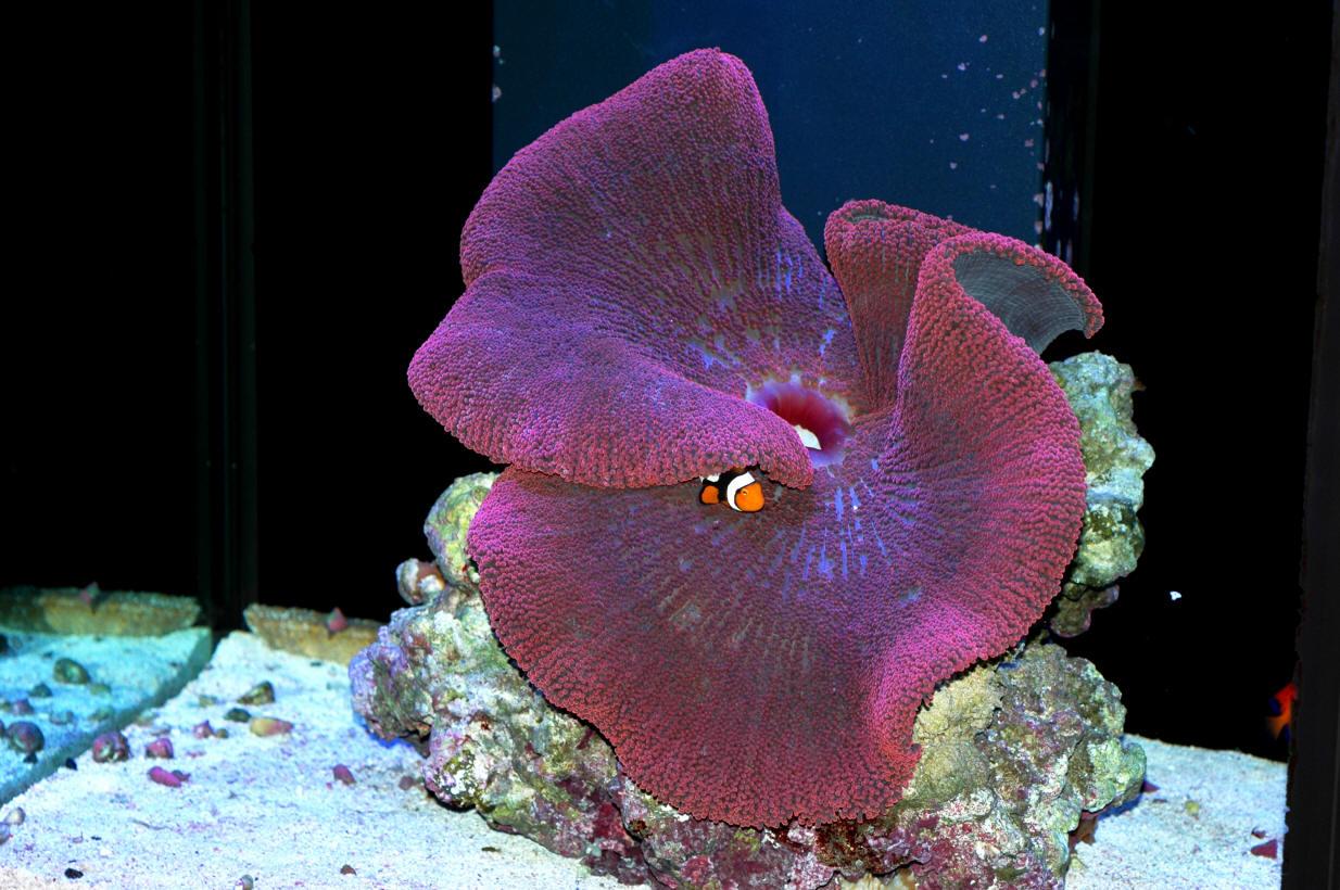 Swpotdarch292 - Anemone species caring color refinement ...