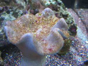 FAQs about the Behavior of Soft Corals of the Family ...