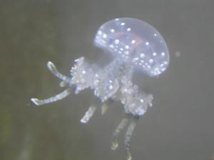 JellyfishFAQs
