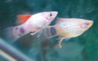 Faqs on the behavior of platies for Platy fish breeding