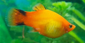 Platy hlth f 10 for Kanamycin for fish