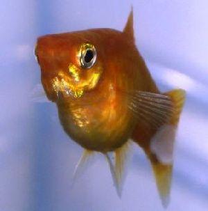 FAQs on Platy Reproduction, Breeding 1 Guppy Fish Eggs In Tank