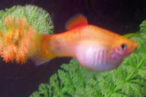 Picture Of Pregnant Platy 54