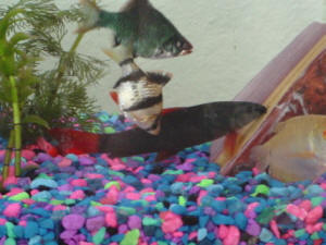 Faqs On Tiger Barbs Compatibility