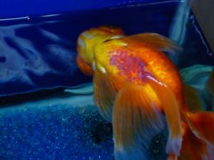 Gf med antiobios f for Kanamycin for fish