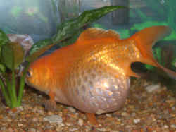 Faqs about bloaty floaty goldfish 1 for How long do fish stay pregnant