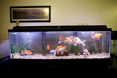 Faqs about koi kept in aquariums for Butterfly koi fish aquarium