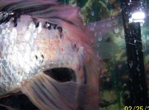 Faqs about goldfish disease health 29 for Sick koi fish