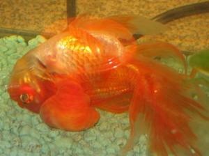 Diligent Interpet Gold Tap Safe Fish Tank Aquarium Water Treatment Goldfish