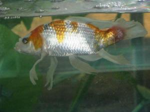 Faqs on pondfish disease 6 for Sick koi fish