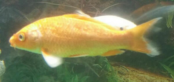 Pond daily faqs page for Sick koi fish