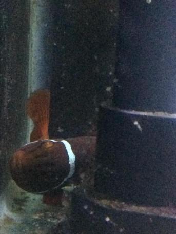 Clown Fish Water Wiggler