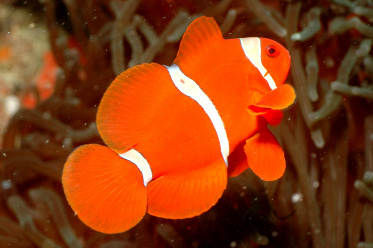 clownfish how to add sounds