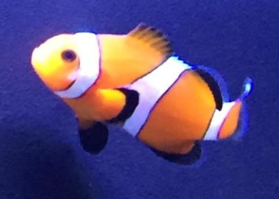 Clownfish Dis F27