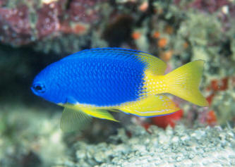Western Indian Ocean Eastern Africa To The Maldives Four Inches Maximum A Damselfish Beauty That Deserves Be Imported Much More Frequently